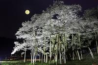岐阜県 ライトアップされた夜の薄墨桜と月