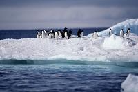 アデリーペンギン 南極 ホープ湾