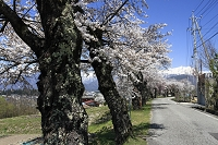 長野県 大町市 北山田 桜の古木と北アルプス鹿島槍 爺ヶ岳 他