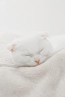 白い毛布の上で寝るスコティッシュフォールドの子猫