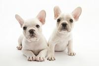 フレンチブルドッグ 2頭の仔犬