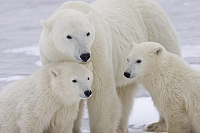 カナダ チャーチル 北極熊の親子
