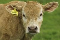 IDタグをつけた食肉牛