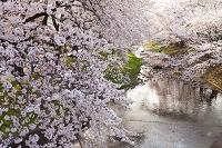 東京都 立川市 根川の桜