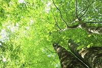秋田県 北秋田市 立又峡谷 新緑の森