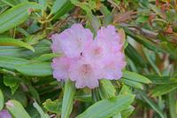 長野県 爺ケ岳下部に咲くシャクナゲ