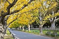 東京都 外苑いちょう並木