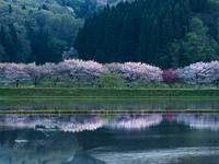 石川県 子浦川べりの桜