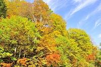 群馬県 尾瀬 原生林の紅葉
