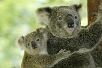 オーストラリア コアラの親子