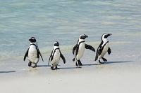 南アフリカ ペンギン