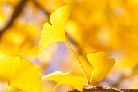 植物 黄葉
