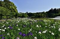 愛知県 ハナショウブと名古屋城