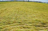 三重県 風で倒れた稲田