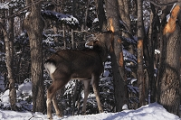 エゾシカ (雄)木の皮を食べる(害獣に)知床