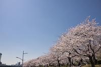 東京都 隅田川と隅田公園の桜並木
