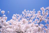 日本 満開の桜