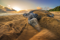 フランス 仏領ギアナ ウミガメ