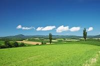 北海道 ポプラの木と丘