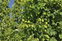 ドイツ ホップの木