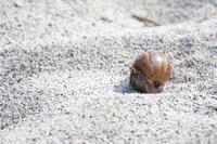 東京都 小笠原父島のコペペ海岸に生息するオカヤドカリ