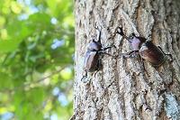 カブトムシとクヌギの木