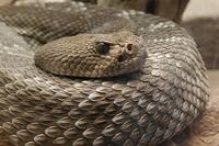 アカダイヤガラガラヘビ