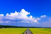 栃木県 田園 真っすぐな農道と黄金色の水田