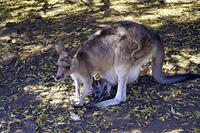 母カンガルーのお腹の袋に入った子供 タスマニア オーストラリア