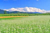 長野県 伊那谷の蕎麦畑