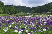 兵庫県 三田市 永沢寺 しょうぶ園