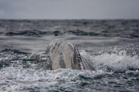 血のにじんだザトウクジラの背中