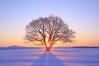 北海道 朝日に輝く霧氷のハルニレ
