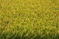 北海道 稲