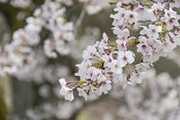 枝先を埋める桜花