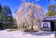 京都府 桜の咲く高台寺