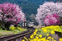 大分県 花桃と桜咲く日田彦山線