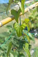 ヤマノイモの葉