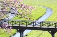 長野県 わさび田と紅梅