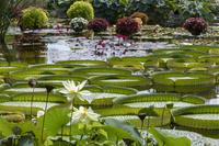 パラグアイオニバスの池 草津市 滋賀県