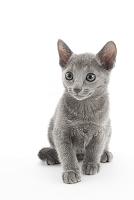 ロシアンブルー 座っている子猫