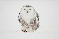 雪の中のフクロウ