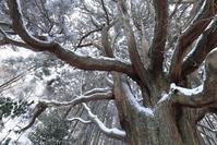 熊本県 高森町 冬の高森殿の杉 雪景色