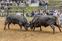 新潟県 山古志の牛の角突き