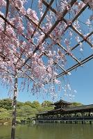 紅枝垂桜と泰平閣 (平安神宮) 洛東 京都