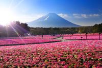 山梨県 富士芝桜まつり 早朝の富士山と芝桜の花畑