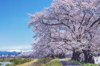 福井県 足羽川の桜並木
