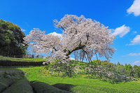 佐賀県嬉野市納戸料の百年桜と茶畑