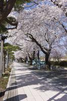桜咲く十和田市官庁街通り