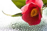 ツバキの花と水滴